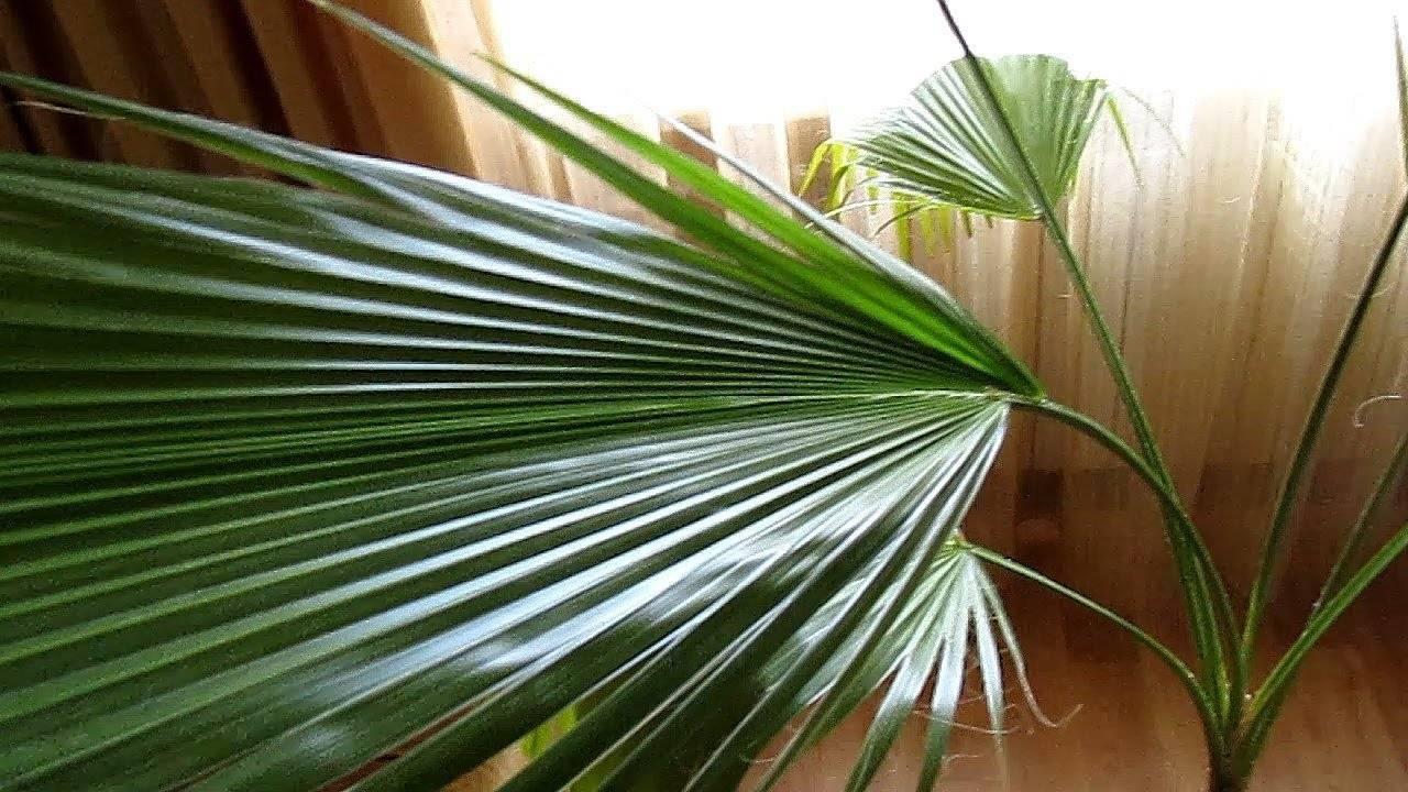 Проращивание, пересадка и уход за пальмами вашингтония — нитеносной и робуста