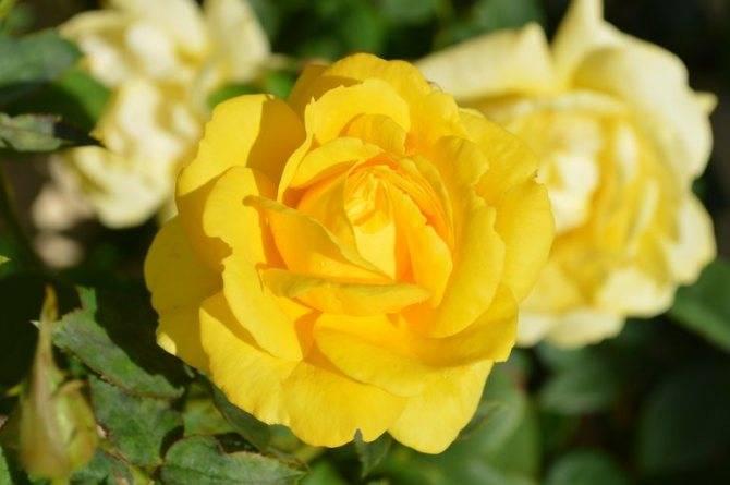 Подкормка для роз при посадке