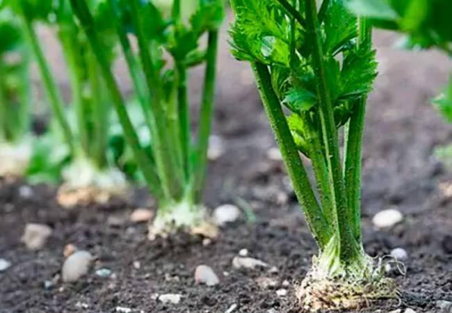 Пастернак овощ: свойства, посадка и уход