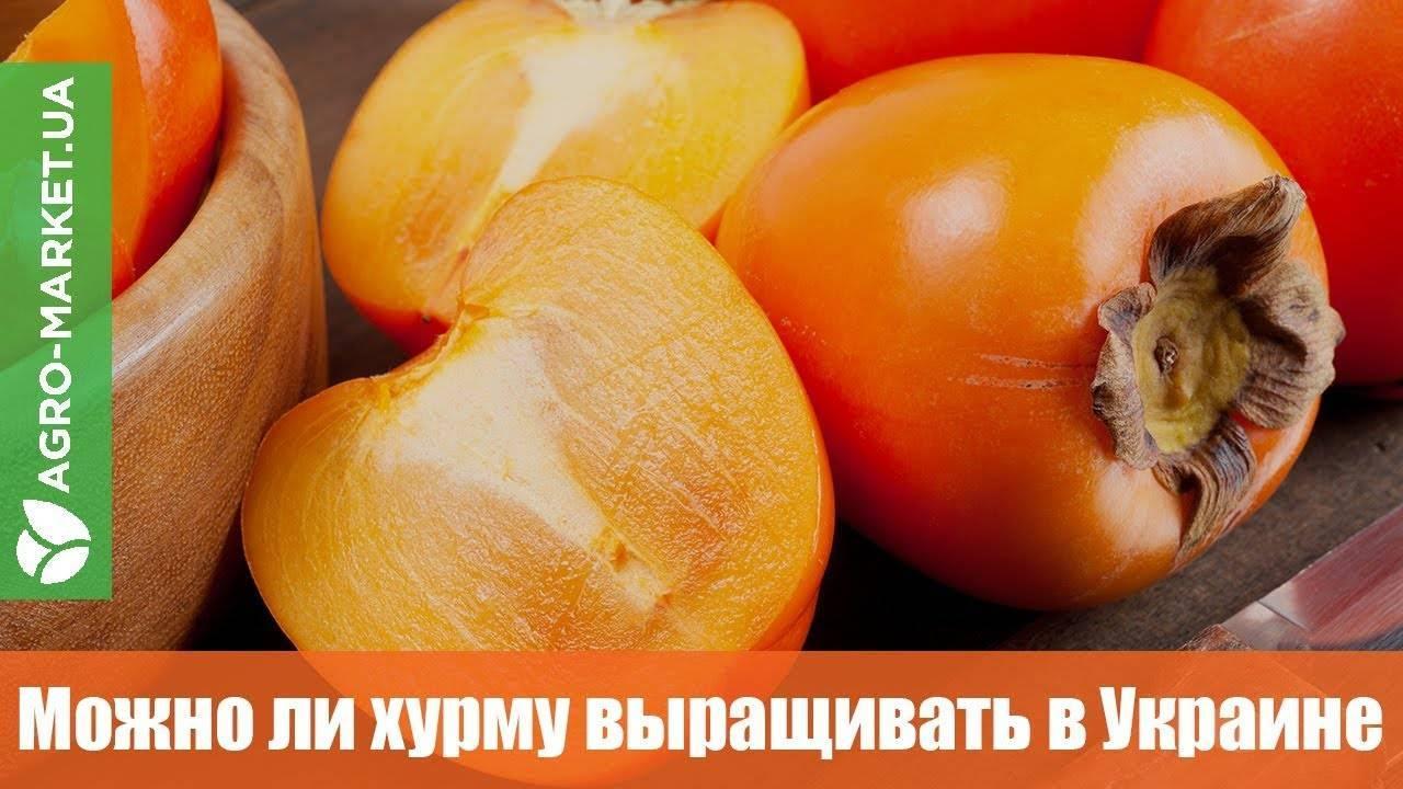 Какие сорта хурмы подойдут для выращивания в сибири и как ухаживать за культурой в этом регионе?