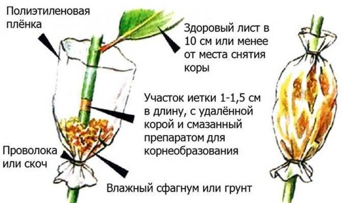Как размножить жимолость: все доступные способы