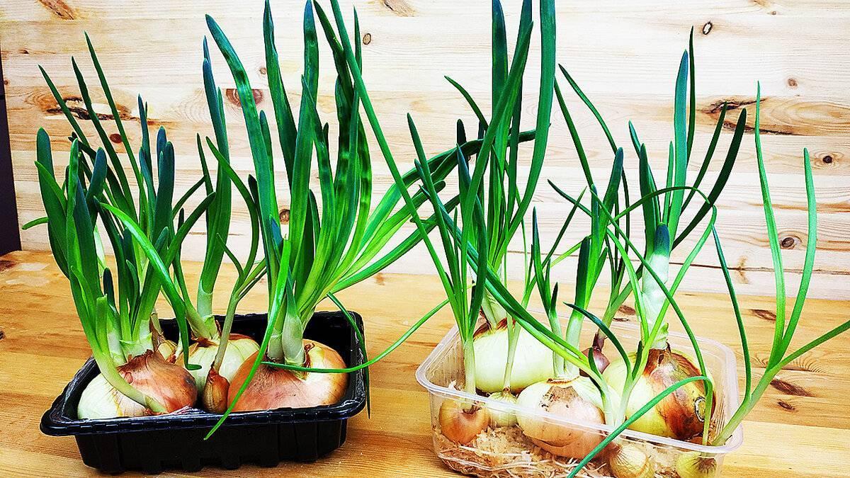 Как быстро вырастить зеленый лук на подоконнике
