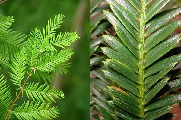 Вечно зеленый великан: удивительные особенности и высота секвойи