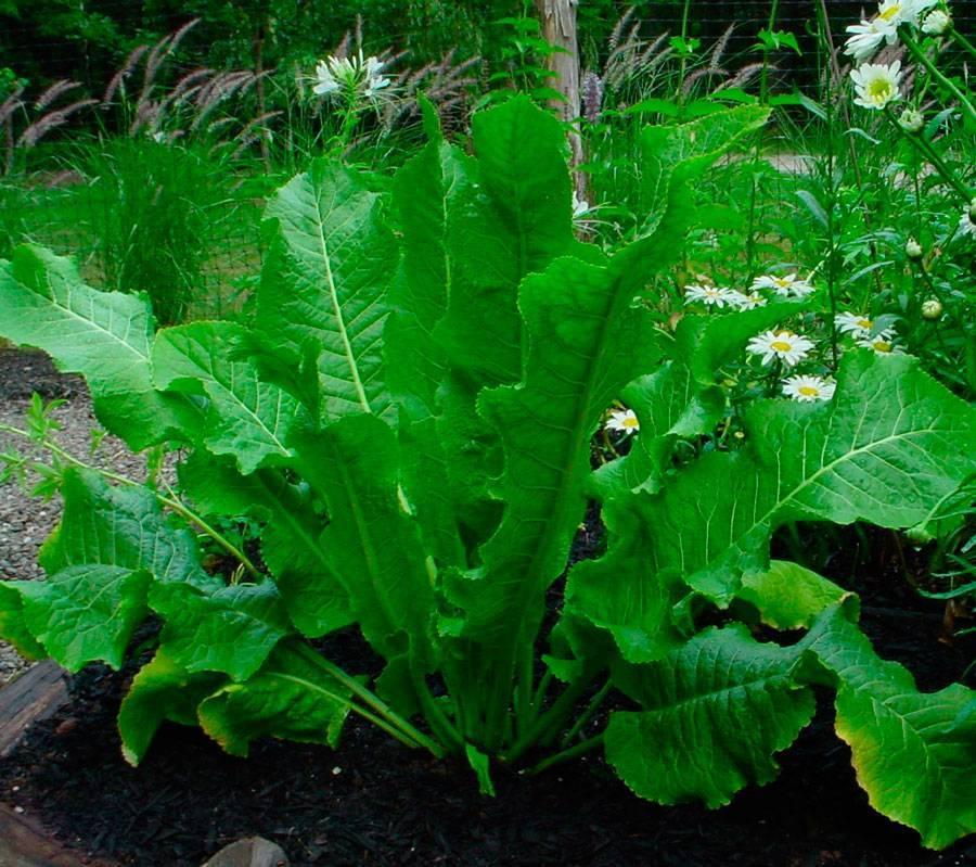 Как посадить хрен на своём огороде