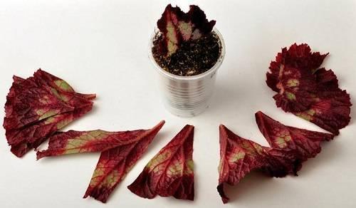Как размножить бегонию листом в домашних условиях, способы, видео