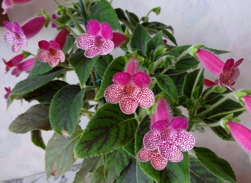 Калерия (колерия): уход в домашних условиях за бархатистыми листиками и красивыми колокольчиками