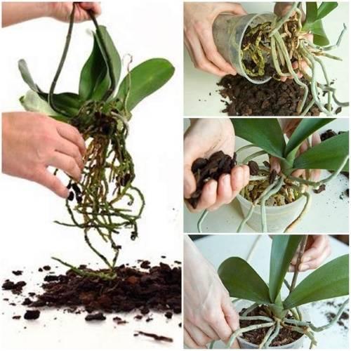 Подробное выращивание орхидеи из луковицы