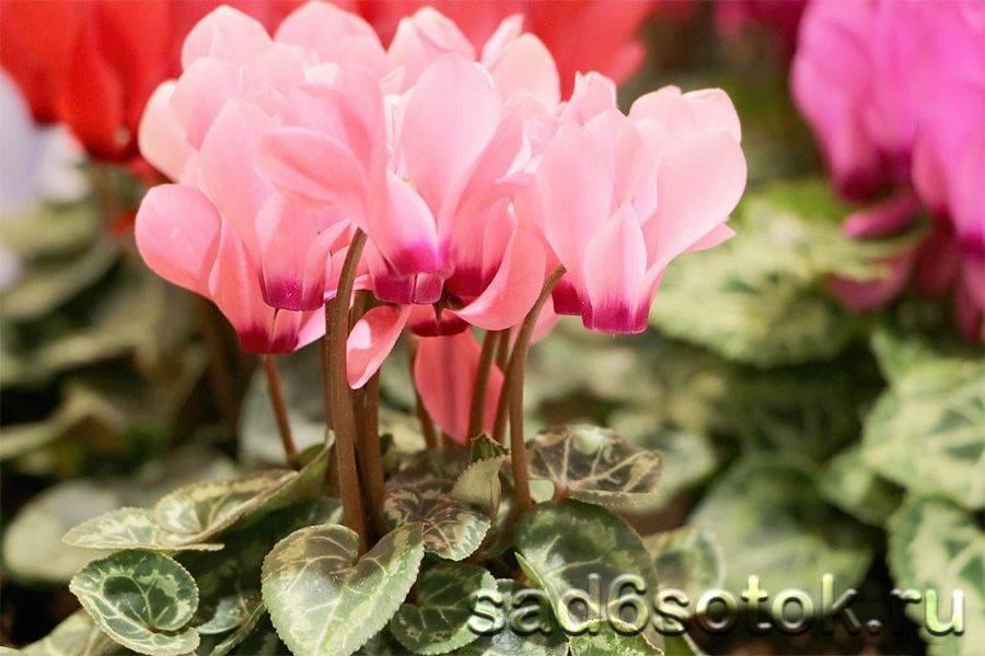Выращивание цикламена – посадка семян в открытый грунт и в теплице, секреты ухода за растением в домашних условиях