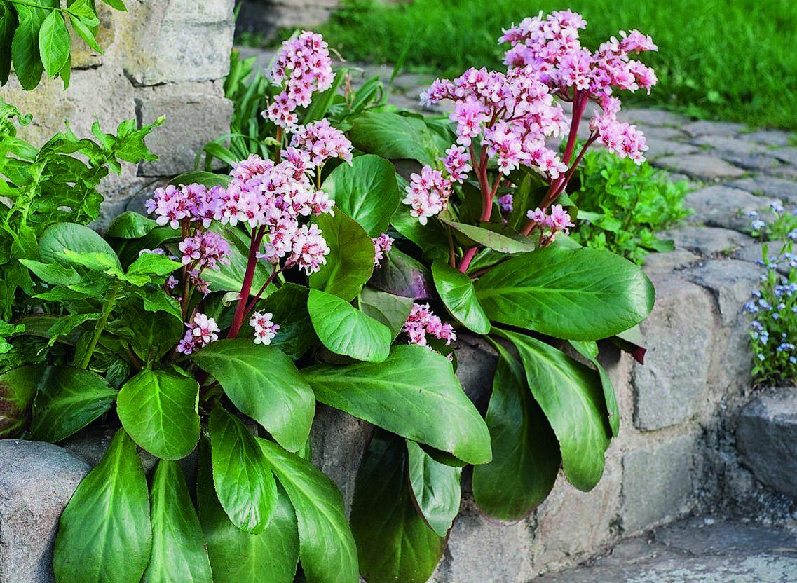 Бадан ― посадка, выращивание и уход за цветком в открытом грунте