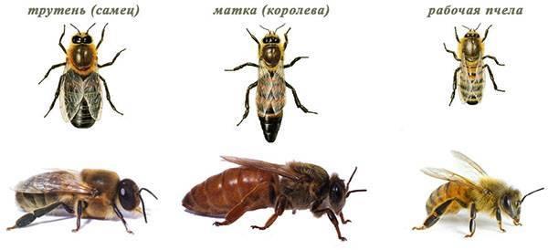 Трутень — это пчела мужского рода