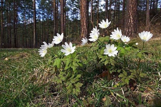 Ветреница: описание,выращивание,почва,посадка,фото,видео,размножение
