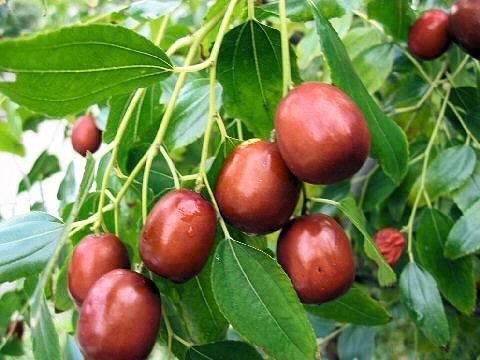Зизифус: описание, выращивание дома и в открытом грунте