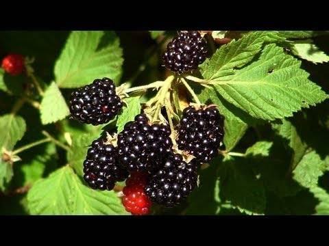 Садовая ежевика — посадка и уход за растением