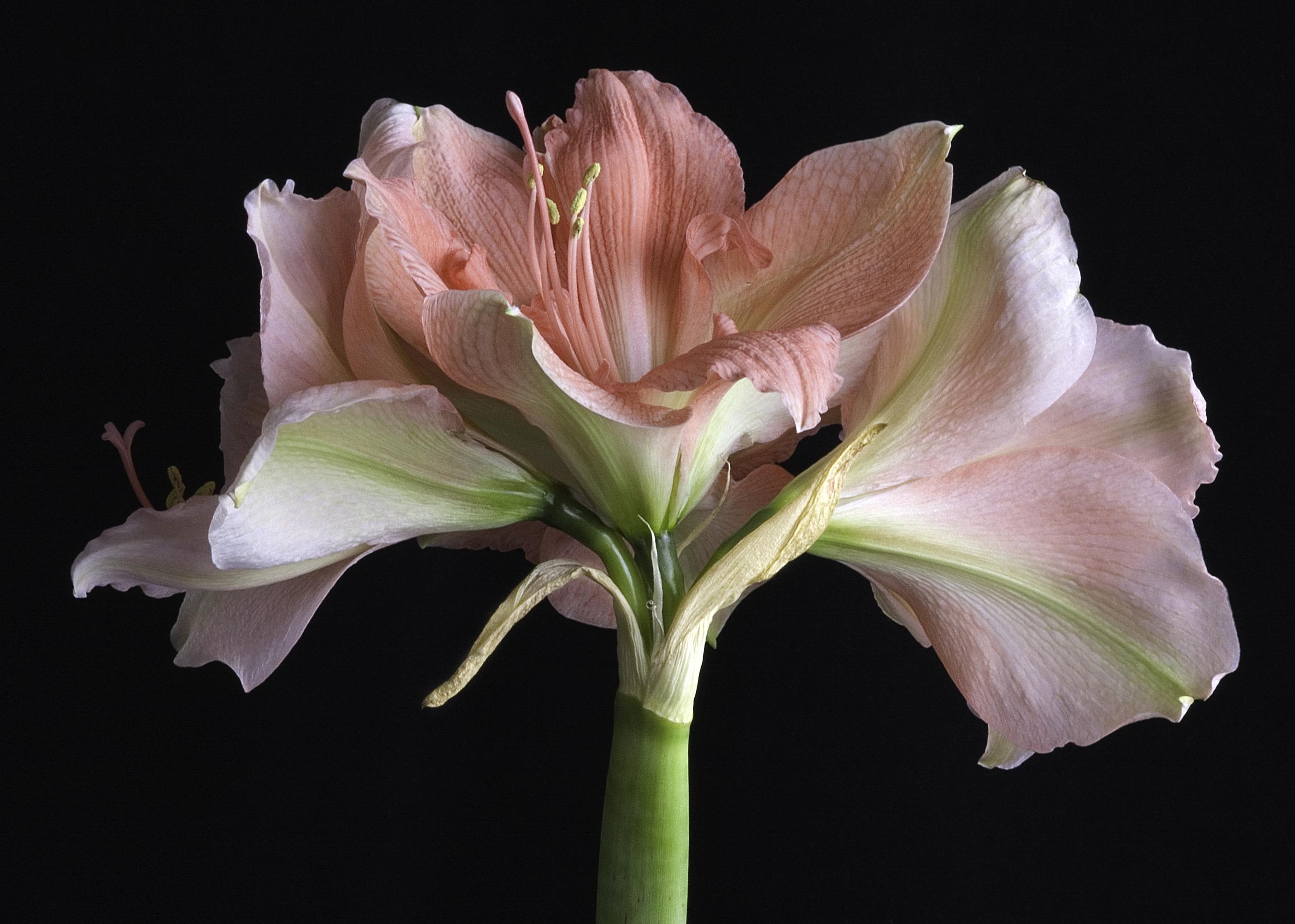 Уход за гиппеаструмом после цветения в домашних условиях