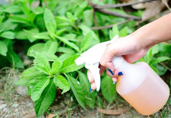Нашатырный спирт в огороде: подкормка и защита
