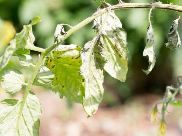 Болезни рассады томатов, профилактика и лечение заболеваний