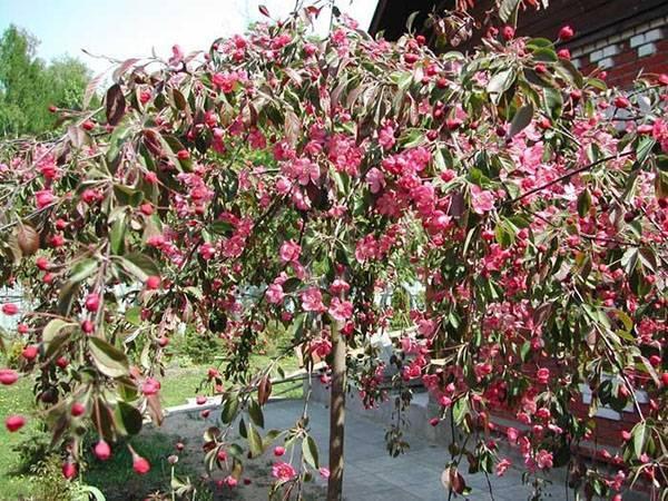 Выращивание ивы в саду – виды и сорта с фото, уход, черенкование и болезни