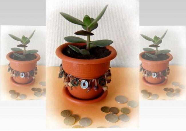 Почему опадают листья у денежного дерева?