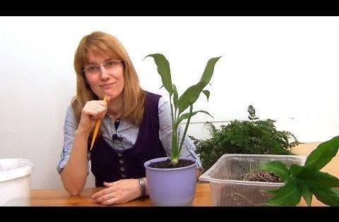 Почему не цветет спатифиллум и чем его подкормить, чтобы зацвел