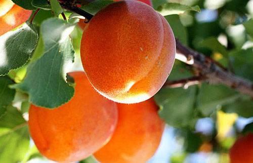 В чем разница между жерделой и абрикосом?