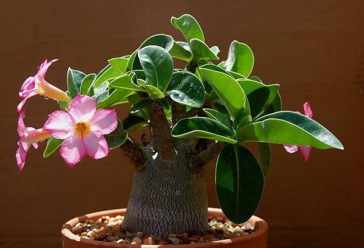 Выращивание адениума в домашних условиях