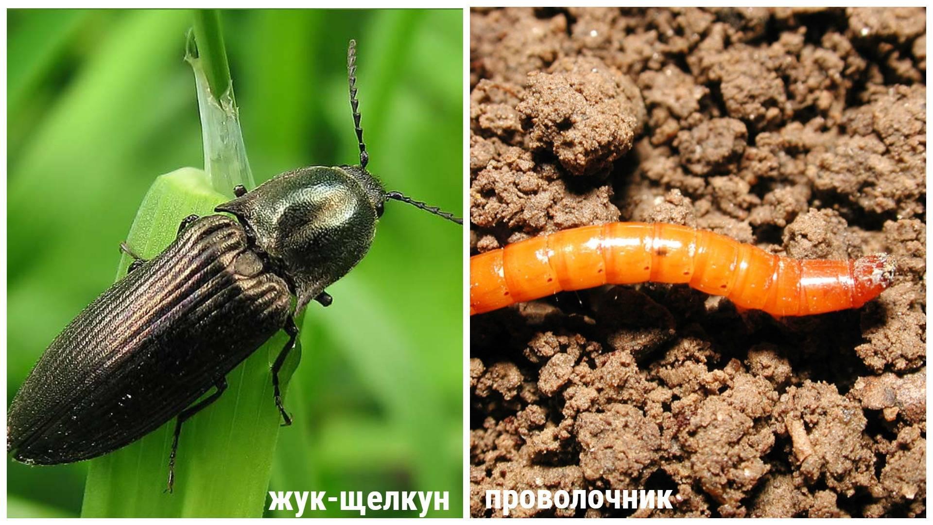 Как избавиться от жука щелкуна народными средствами и препаратами, меры борьбы