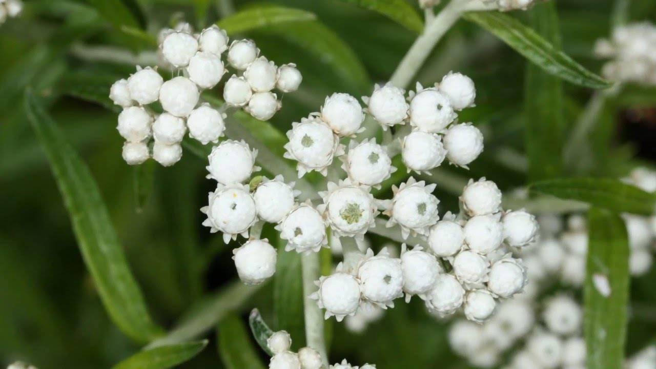 Анафалис: виды цветка, посадка и уход