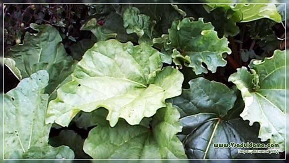 Ревень – его сорта, правила посадки и выращивания