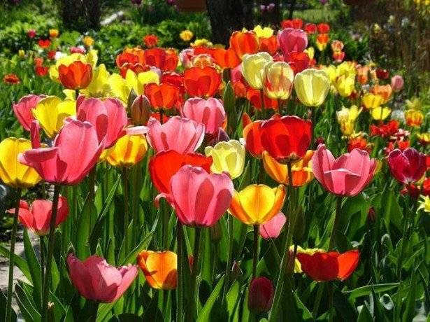 Как правильно нужно выращивать тюльпаны?