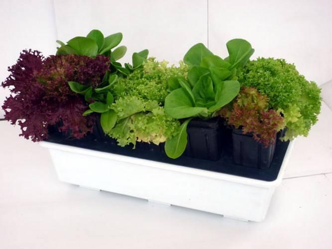 Начинаем выращивание кресс салата в домашних условиях