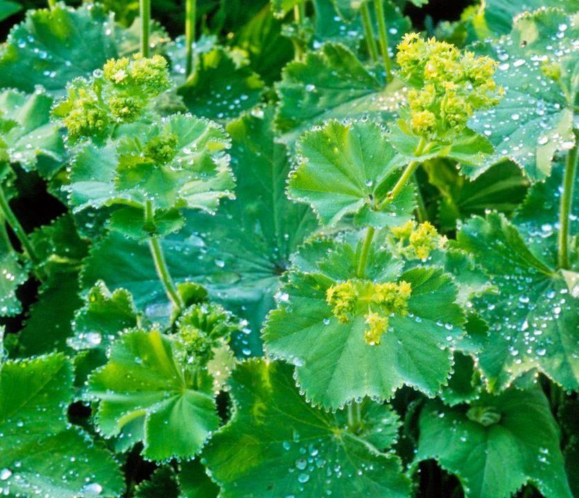 Трава манжетка, лечебные свойства и противопоказания