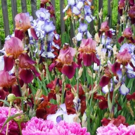 Ирисы весной