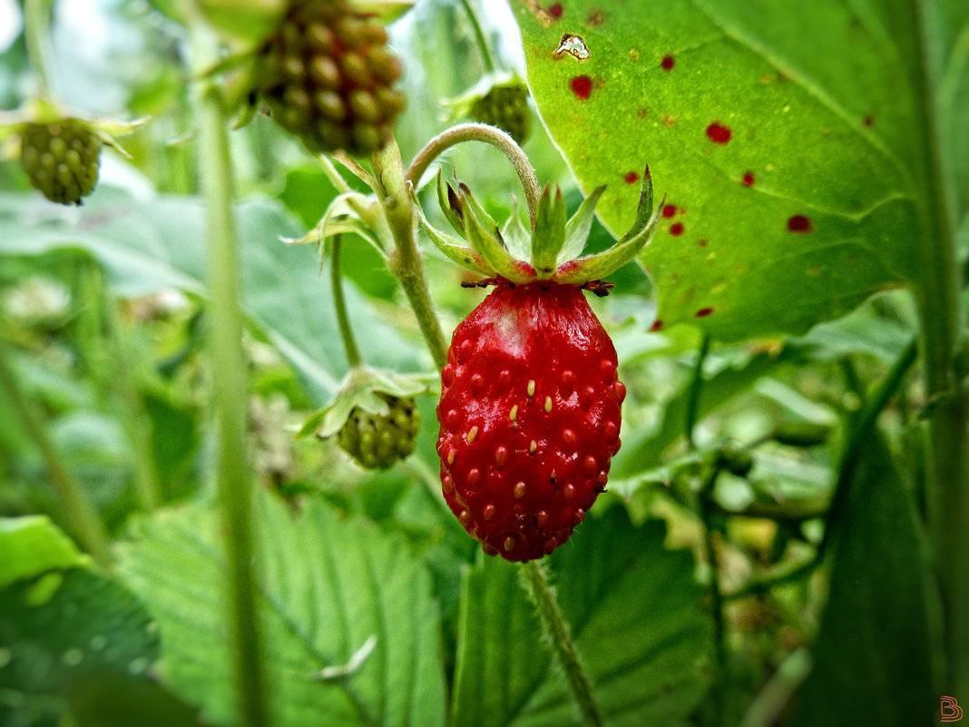 Земляника руяна — описание сорта, фото, выращивание из семян, видео