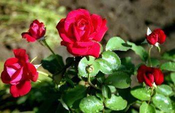 Внесение удобрений при весенней посадке роз