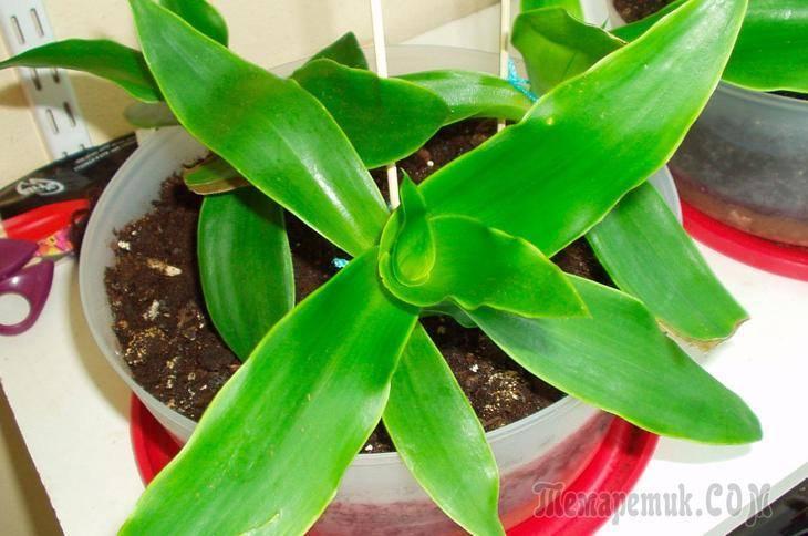 Золотой ус: выращивание в домашних условиях, особенности ухода, размножение, фото