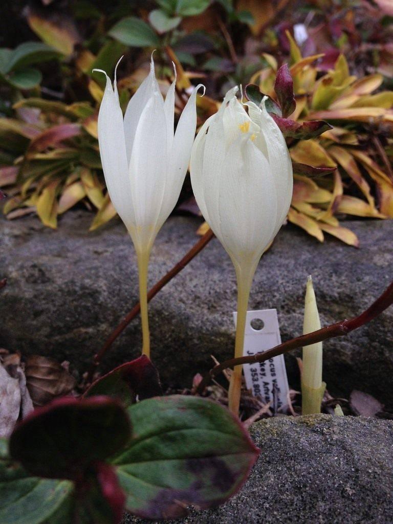 Выращивание крокусов из семян — занятие для цветоводов-любителей
