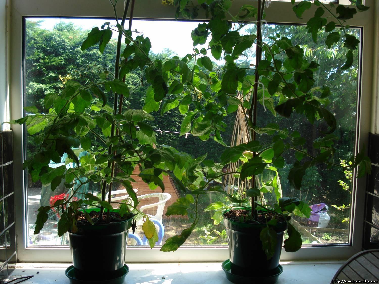 Как вырастить большой урожай огурцов в домашних условиях на подоконнике