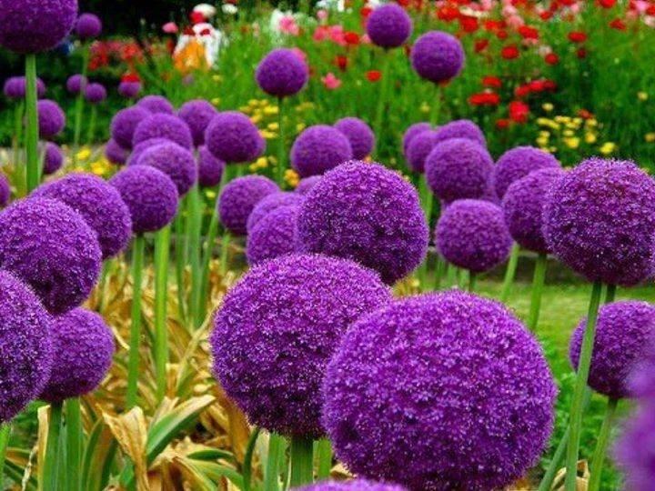 Сорта декоративного лука и способы выращивания