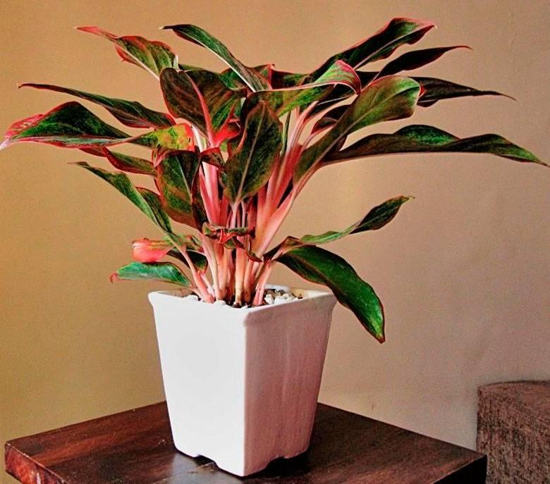 Уход в домашних условиях за растением — сингониум