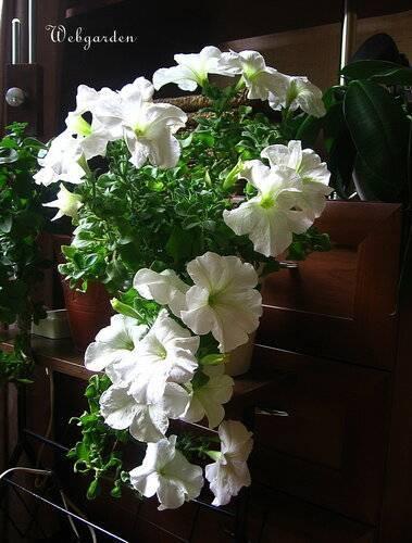 Ухаживаем за цветущими видами каланхоэ и добиваемся их повторного цветения