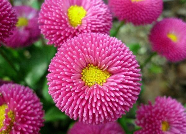 Астры — способ и сроки осеннего посева семян для раннего цветения, видео