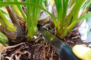 Три способа размножения орхидеи дендробиум