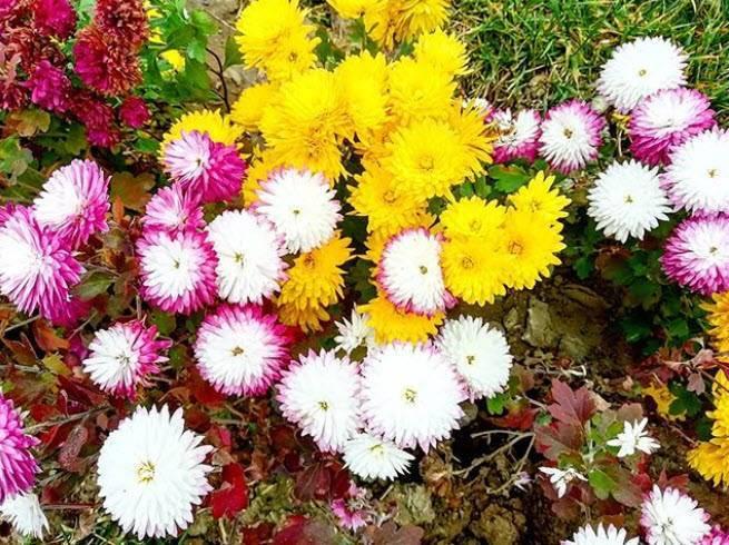 Как вырастить крупноцветковые хризантемы в средней полосе