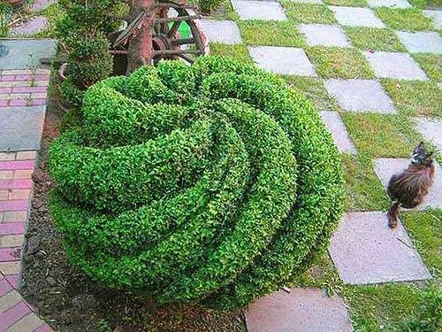 Вечнозеленый самшит: фото, посадка, размножение и уход