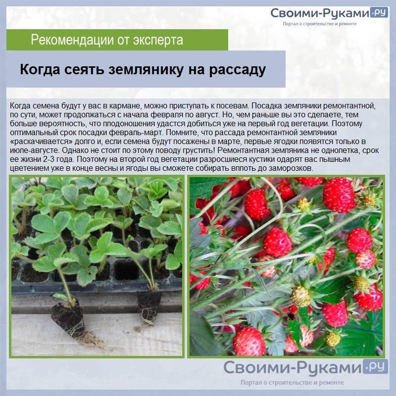 Земляника барон солемахер - отзывы садоводов, особенности выращивания