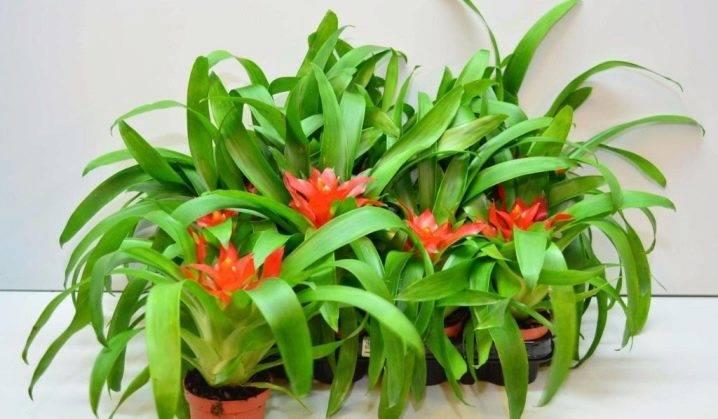 Гузмания — уход в домашних условиях, как поливать, как пересадить, почему не цветет?