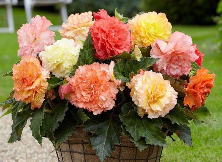 Бегония вечноцветущая: сорта и секреты выращивания декоративного растения
