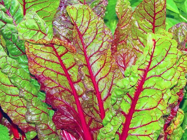 Польза мангольда и вред овоща — описание и противопоказания к применению в пищу (115 фото и видео)