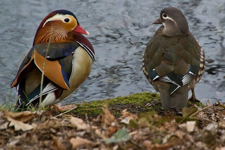 Утка мандаринка: описание, питание, размножение птицы