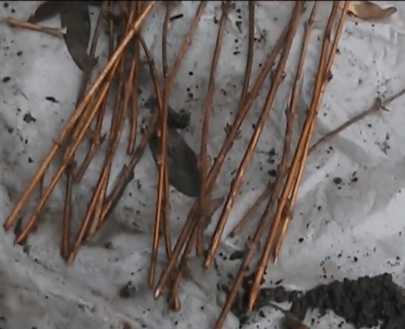 4 способа размножения жимолости